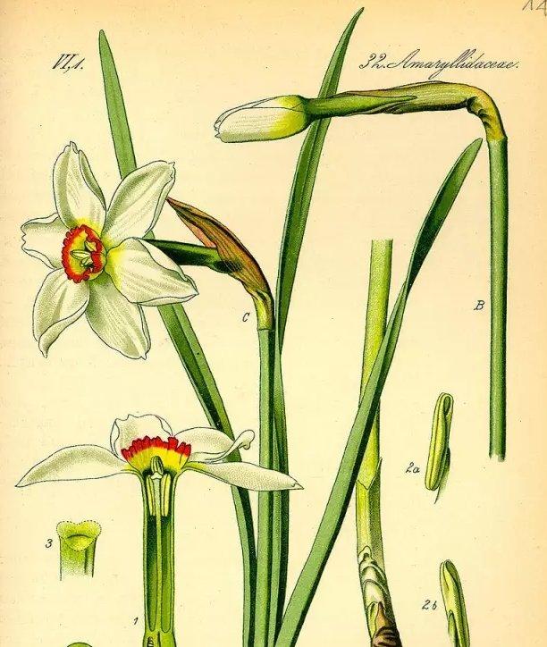 水仙花素以美丽著称,它由球茎长成