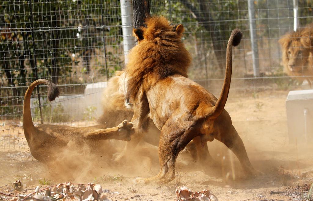 国际动物保护协会所拯救的33头马戏团