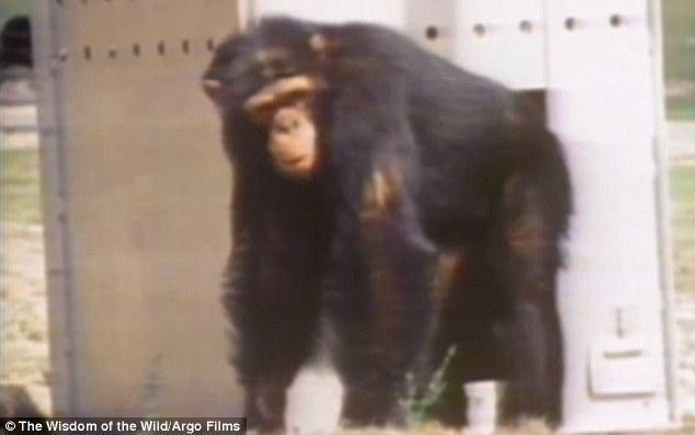黑猩猩认出25年前救命恩人 咧嘴大笑飞扑拥抱 - 双梅 - 张静华