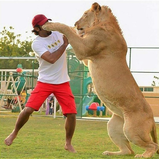 将这些令人意想不到的大型猫科动物作为家养宠物的行为渐渐成为了沙特阿拉伯富豪们彰显个人财富的一种方式,因为一只老虎的价格可以达到3万7千欧元(约25万6千元人民币)。同时,因胡麦德拥有的如此多的猛兽宠物,不少网友对这名年轻富豪的巨大财富来源有所质疑,但是也没有证据显示其巨额财富是非法所得。         (来源:国际在线)