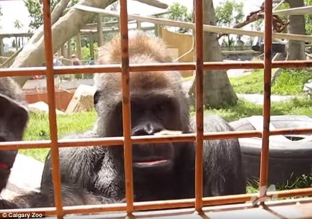 动物园一毛毛虫引发好奇猩猩父女